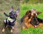 10 ok arra hogy soha ne legyen német juhász kutyád