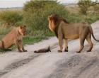 Egy sebesült rókára talál az oroszlán - ami ezután történik, arra nincsenek szavak!