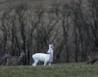 Ritka hófehér őzet láttak a Somogyban
