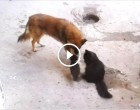A macska elvitte a kölykeit vendégségbe – a kutyához! Ennél meghatóbb találkozót nehéz lenne elképzelni!