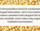 Tarhonyaszedésre keresünk munkásokat (Szeged külterületén) – 1400 Ft/óra (nettó)