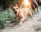 Az 1 kutyaév = 7 emberév egyenlet téves. Hogyan számítsd át a kutyád életkorát emberi életkorra