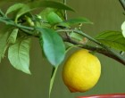 Így növeszd tömegszámra a citromot a konyhádban. Csak egy citrom kell hozzá, meg ez a trükk
