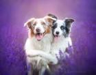 A kutyák is imádják a levendulát