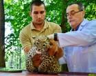 Szépen fejlődik és eszméletlenül cuki a Miskolci Állatkert 8 hetes leopárdja