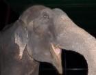 50 évet töltött fogságban az elefánt, aztán végül kiszabadult