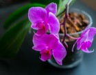 Elvirágzott az orchidea? Ezt tedd, hogy újra gyönyörű legyen – Lépésről lépésre mutatjuk, mit csinálj!