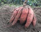 Így lesz tele a kerted édesburgonyával, röhejesen olcsó megoldás
